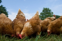 A group of pasture raised chickens peck for feed on the ground